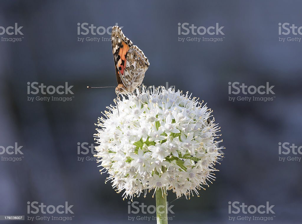 Butterfly  on a white allium royalty-free stock photo