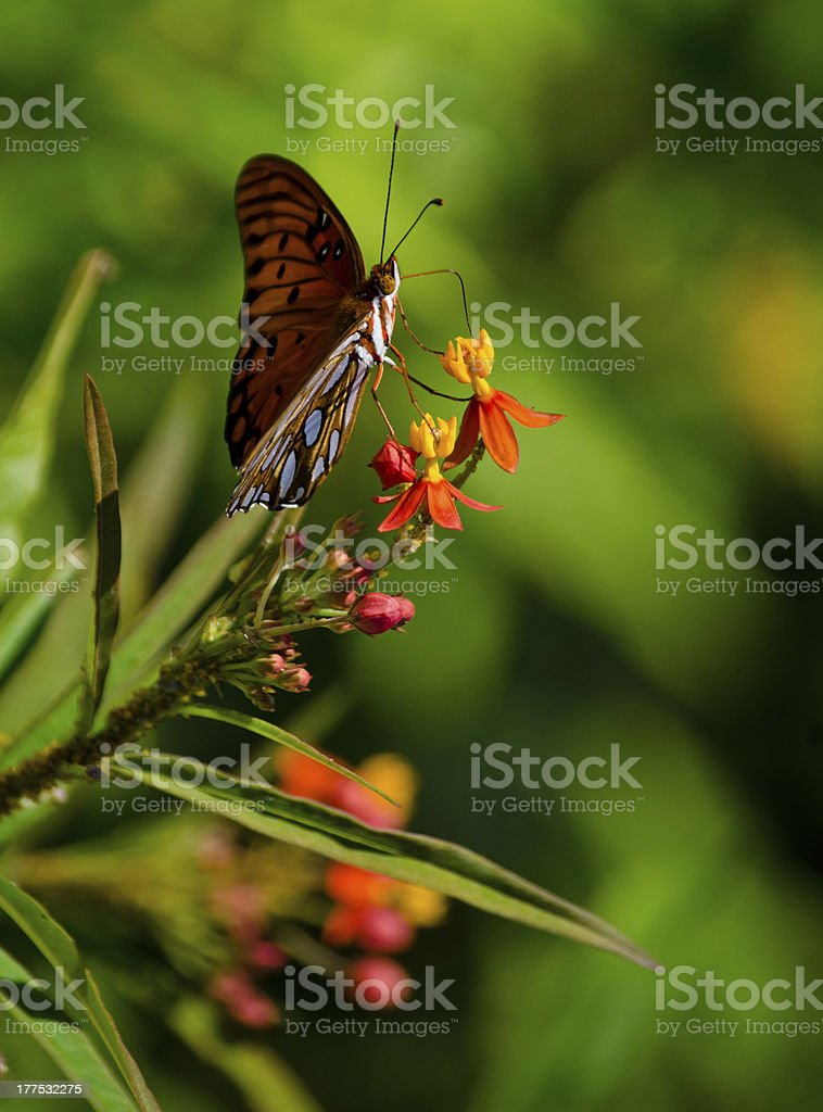 Butterfly on a yellow and red flower royalty-free stock photo