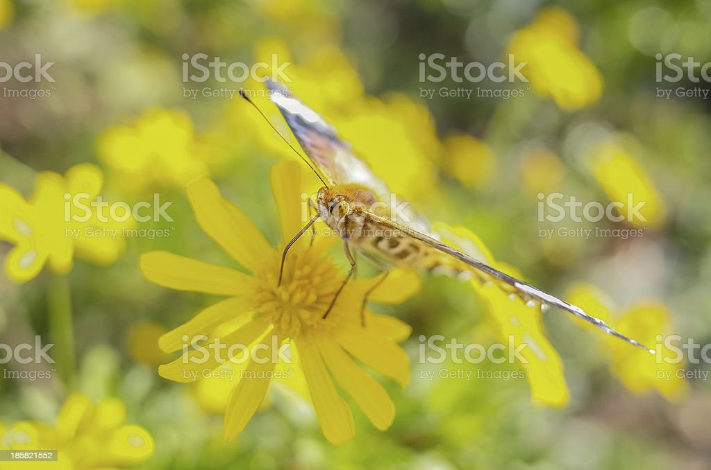 Butterfly on a Yellow Flower royalty-free stock photo