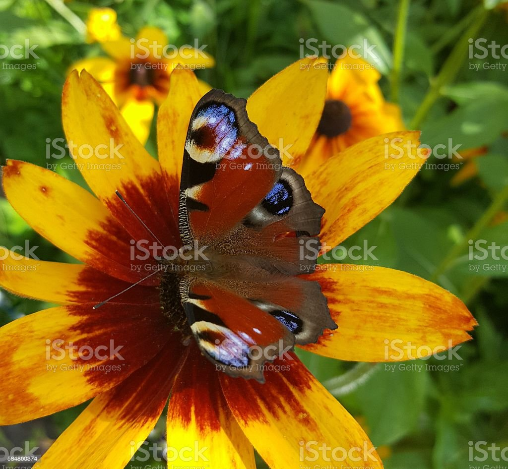 Butterfly on a yellow flower stock photo