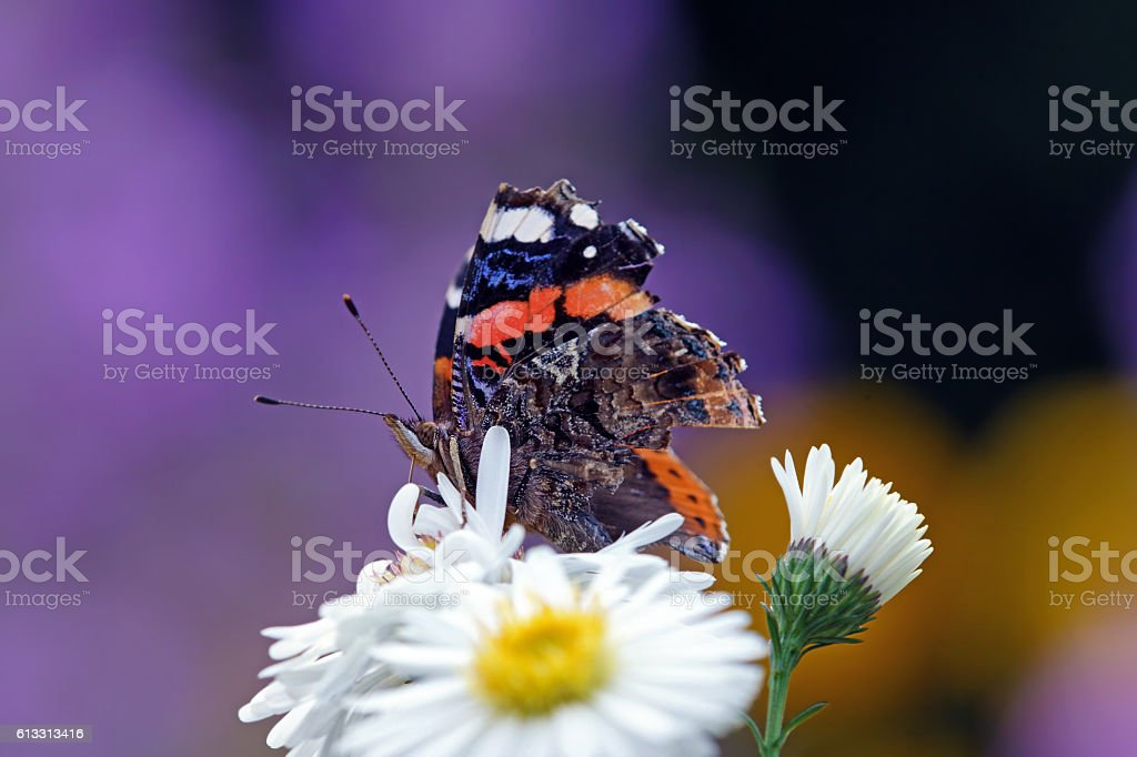 Butterfly on aster stock photo