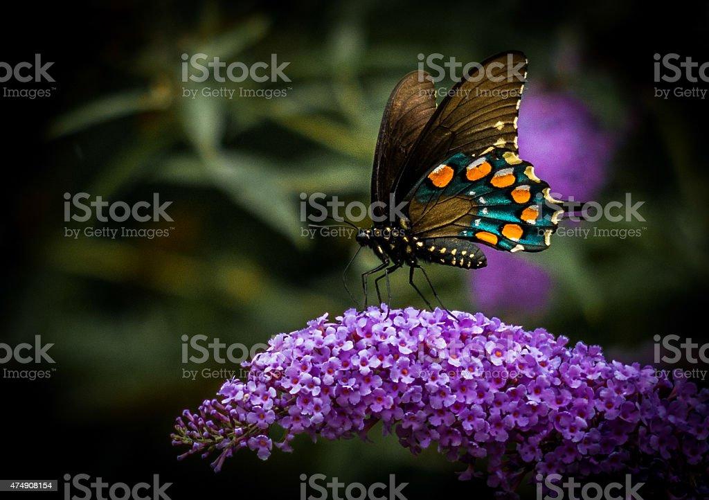 Butterfly on Betterfly Bush stock photo