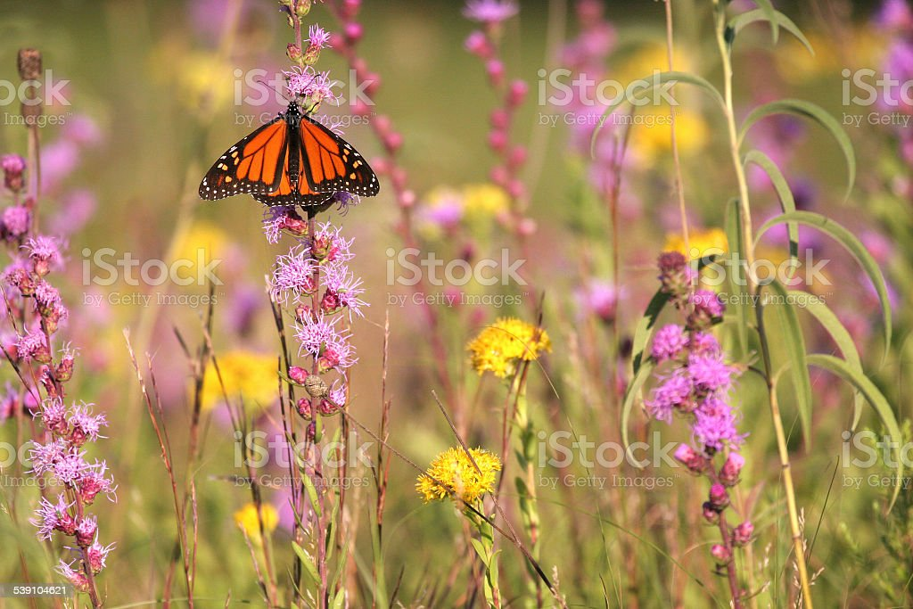 Butterfly on Blazing Star flowers stock photo
