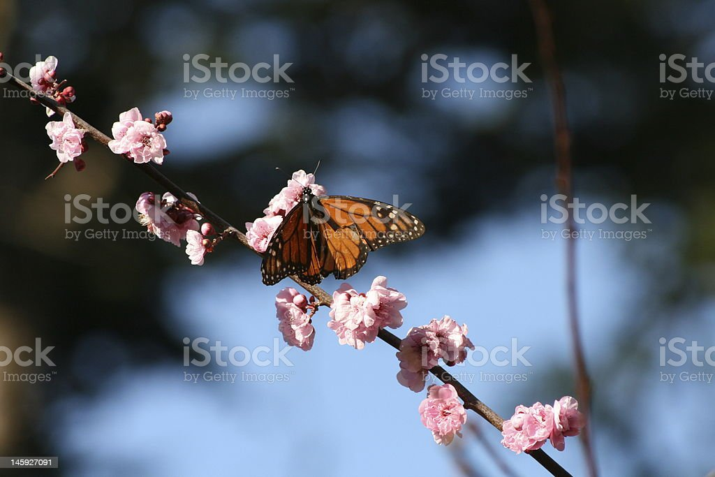 Butterfly on Branch in Pacific Grove, CA stock photo