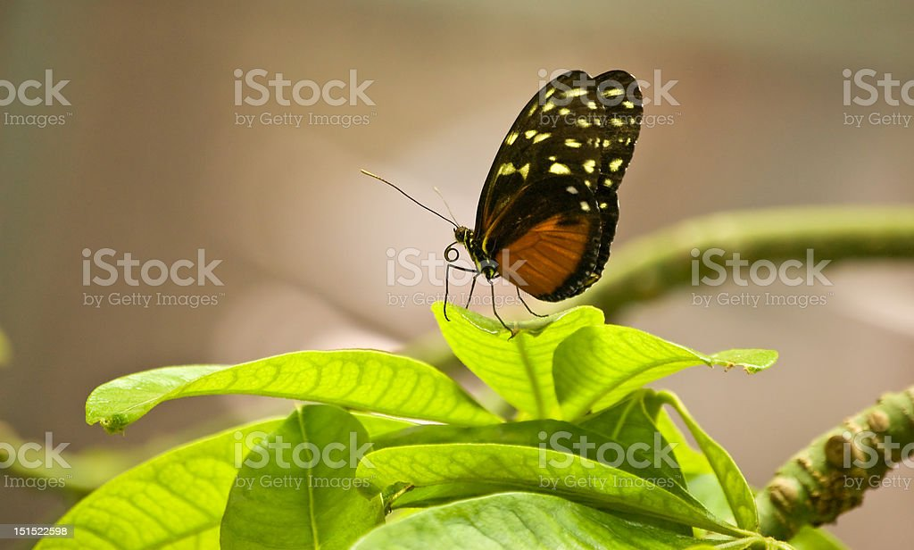 Butterfly on Bright Green Leaves royalty-free stock photo