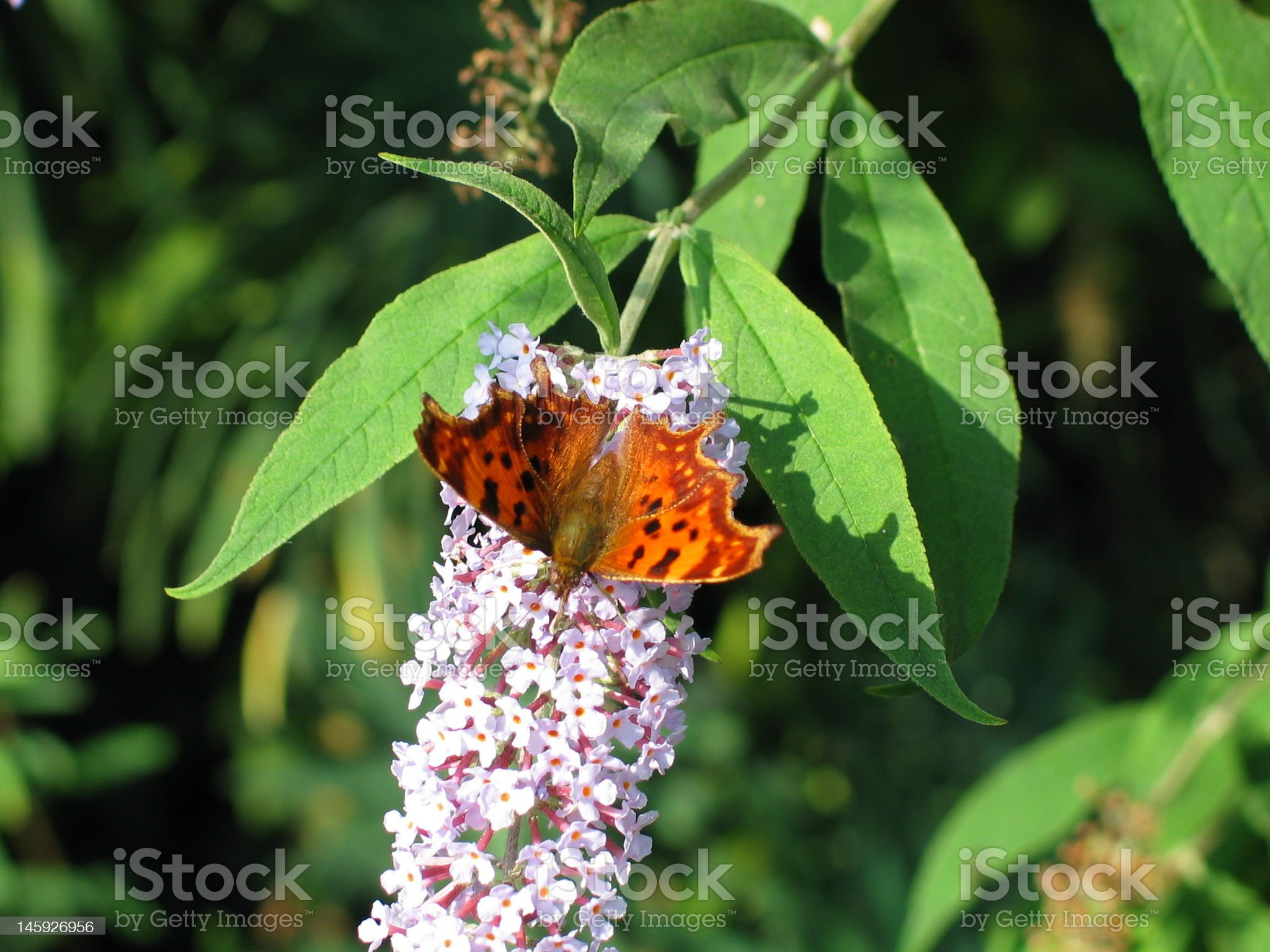 Butterfly on Buddleia royalty-free stock photo