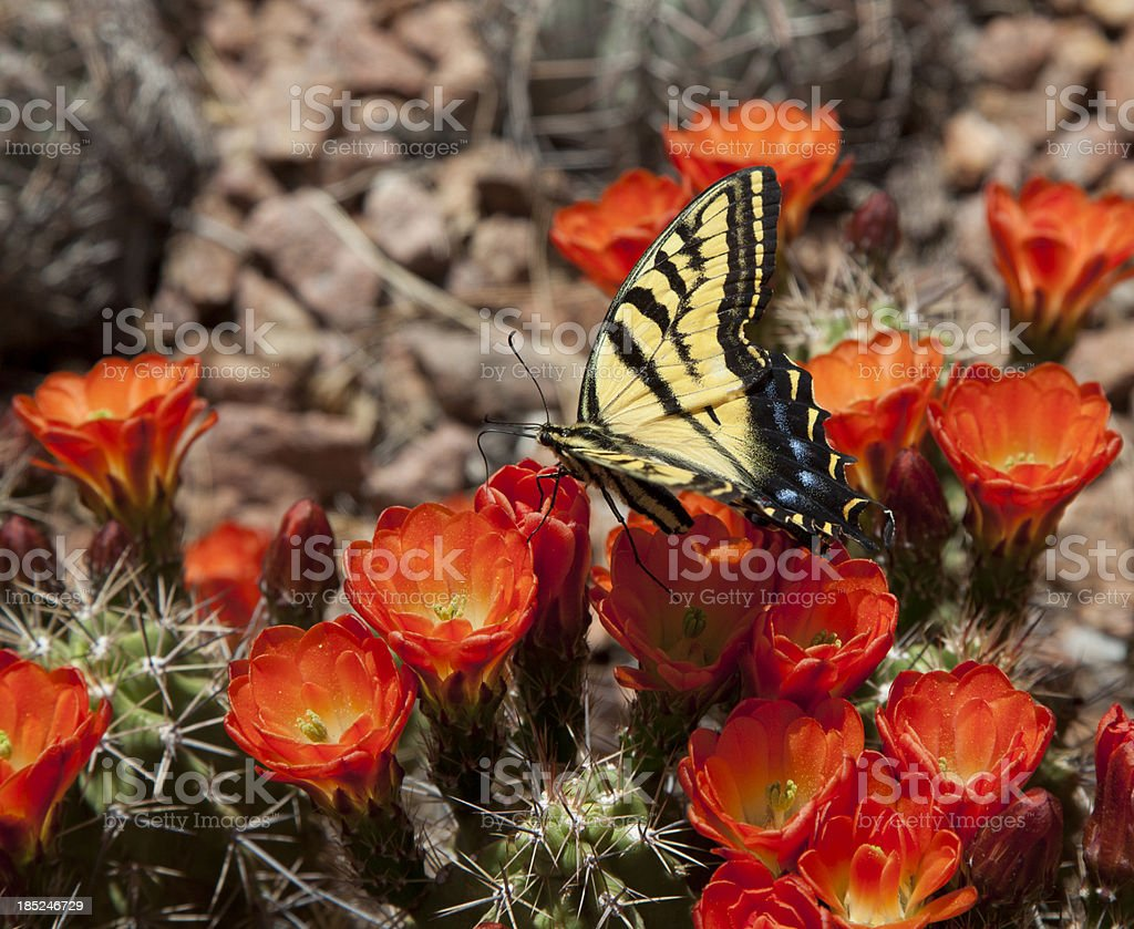 Butterfly on Cactus Flower stock photo