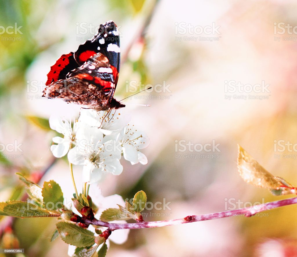 Butterfly on Cherry Tree Flowers stock photo