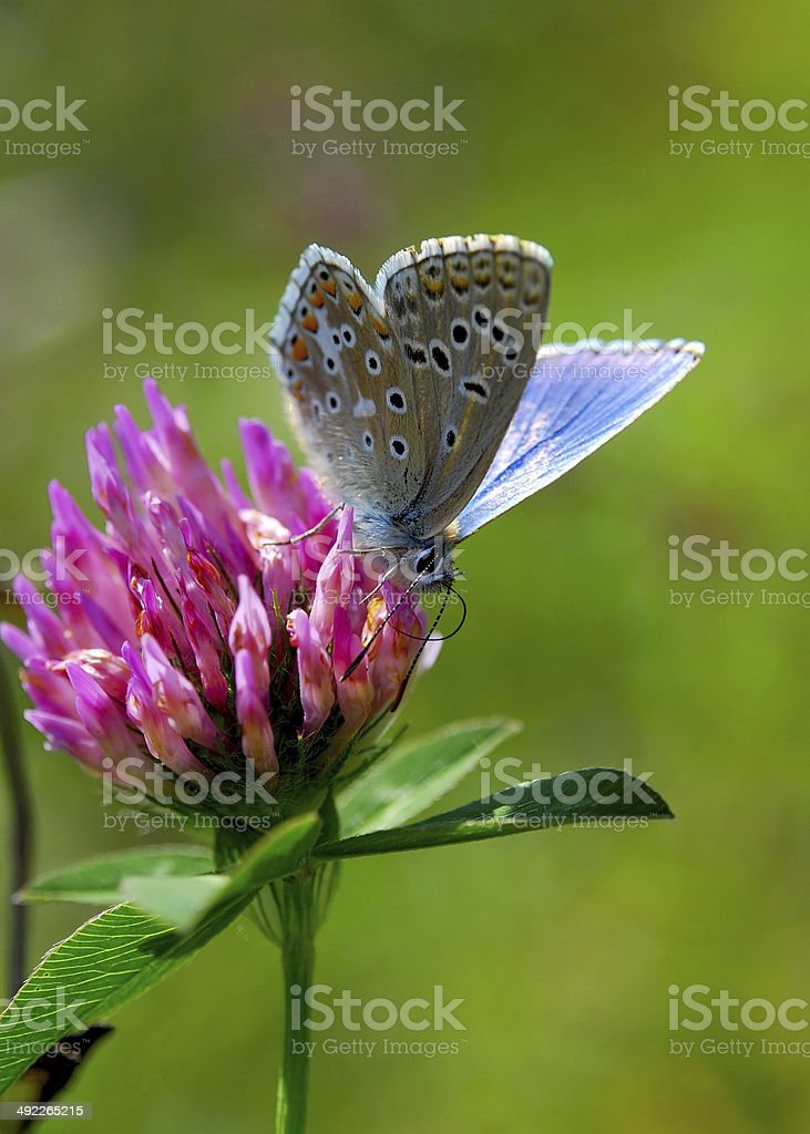 butterfly on clover stock photo