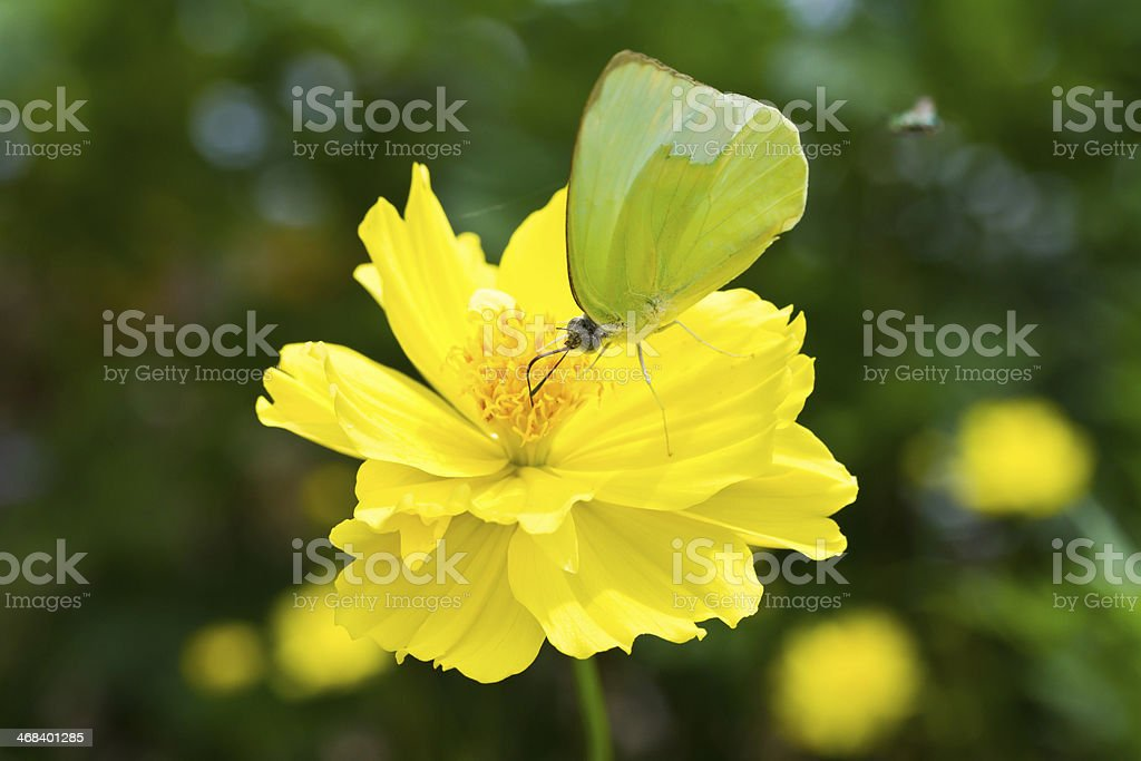 Butterfly on Cosmos flower stock photo