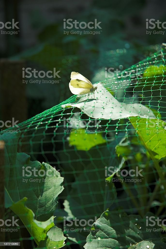 Butterfly on crops. royalty-free stock photo