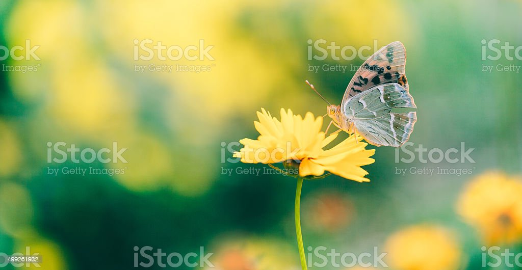 Butterfly on daisy flower, close-up stock photo