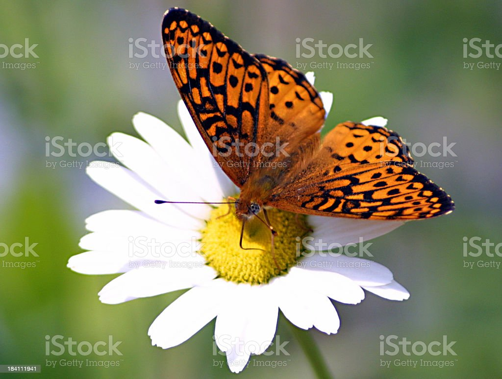 Butterfly on daisy royalty-free stock photo