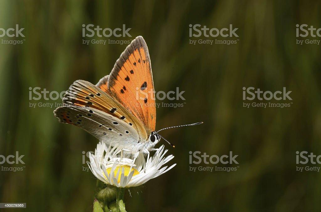 butterfly on daisy stock photo