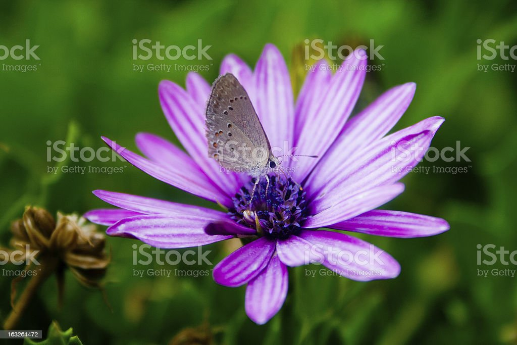Butterfly on flower - Mariposa sobre flor royalty-free stock photo