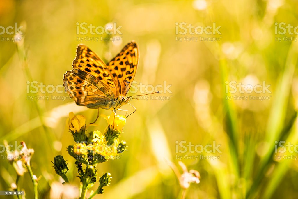 Schmetterling auf Bl?te stock photo