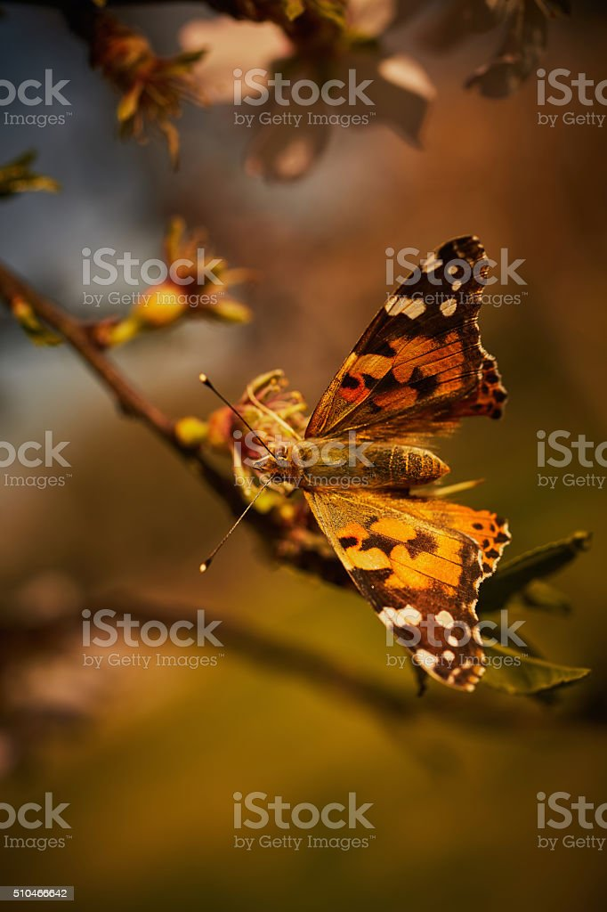 butterfly on flowering Plum tree branch stock photo
