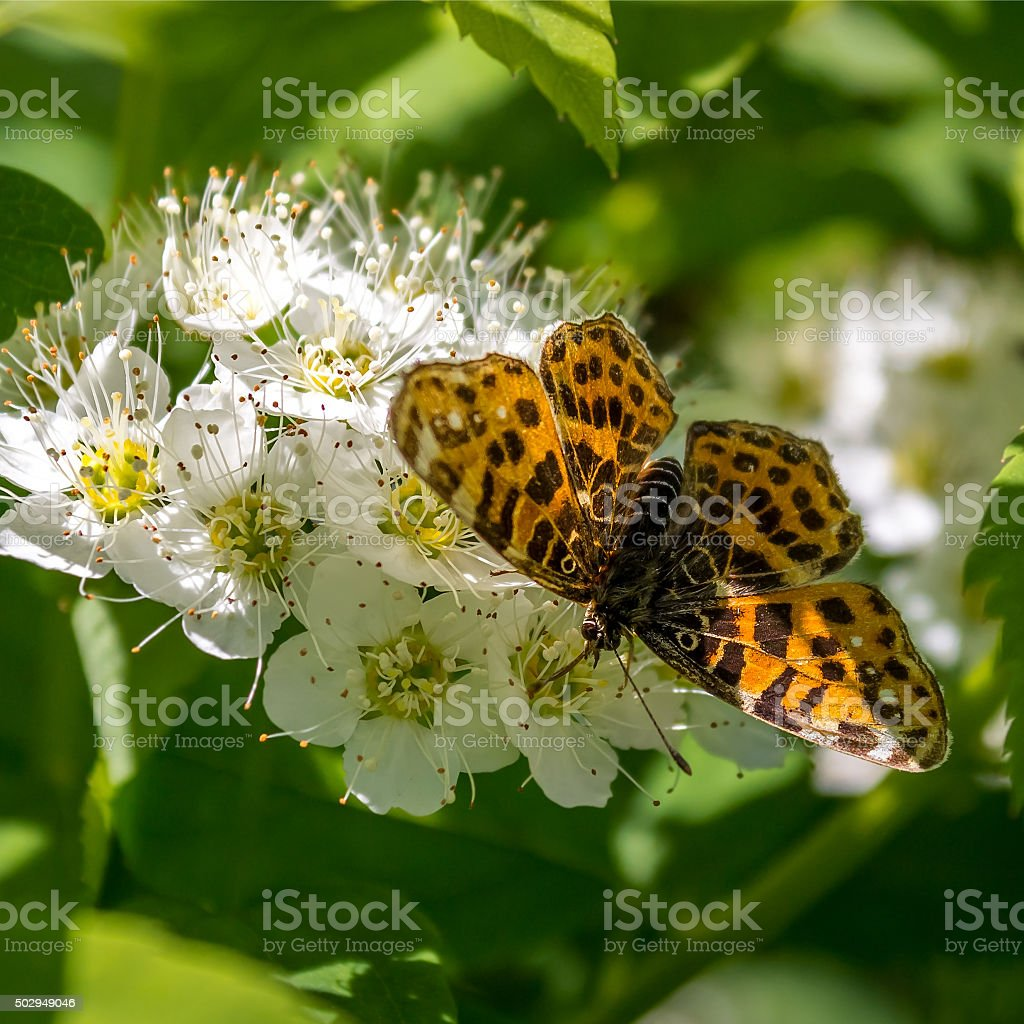 Butterfly on flowers Brenthis Physocarpus stock photo