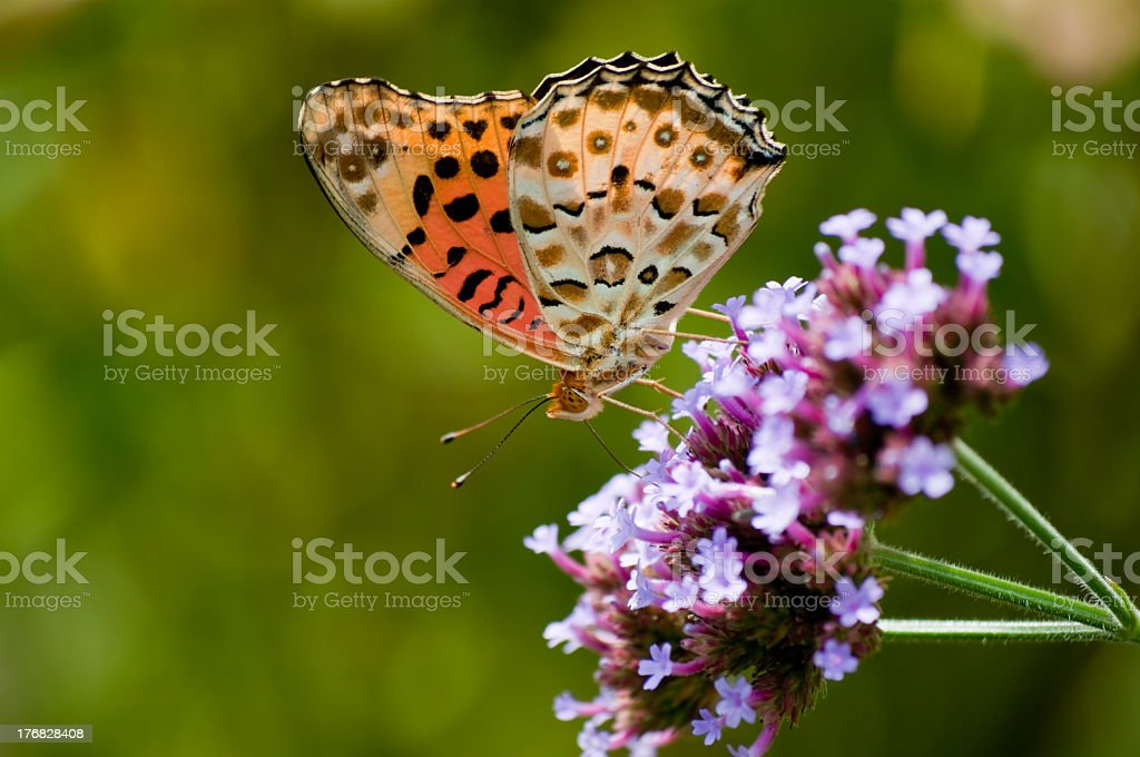 Butterfly on flowers royalty-free stock photo
