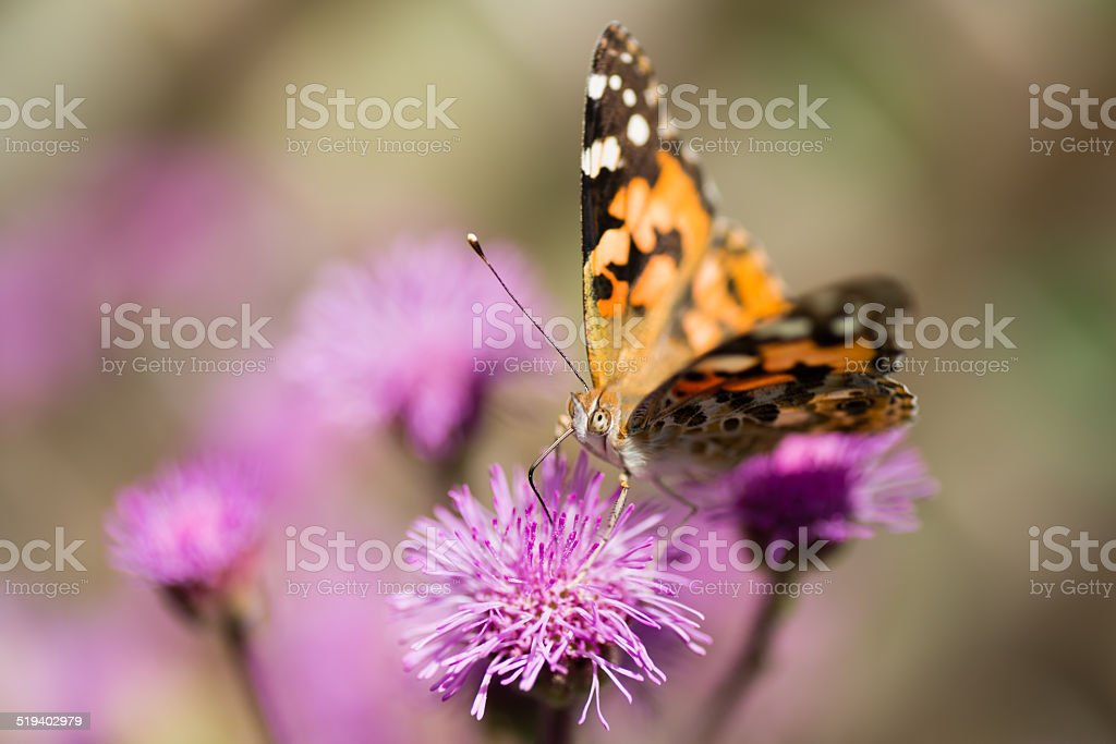 Butterfly on flowers (XXXLarge) stock photo
