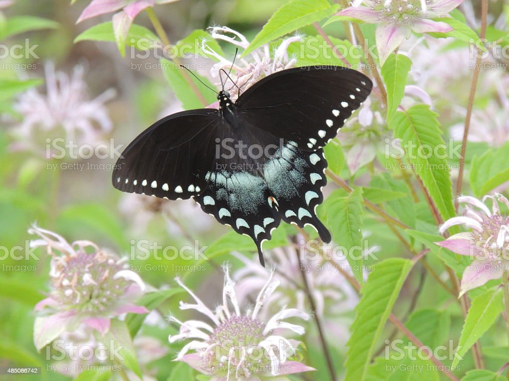Butterfly on flowers with wings spread stock photo