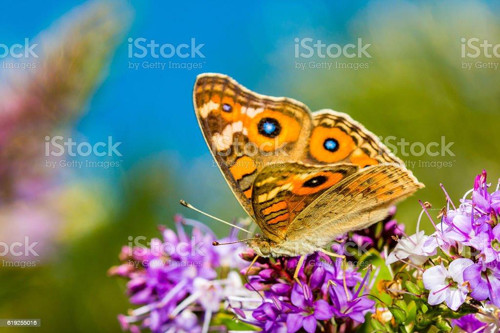 Butterfly on Hebe Bush stock photo