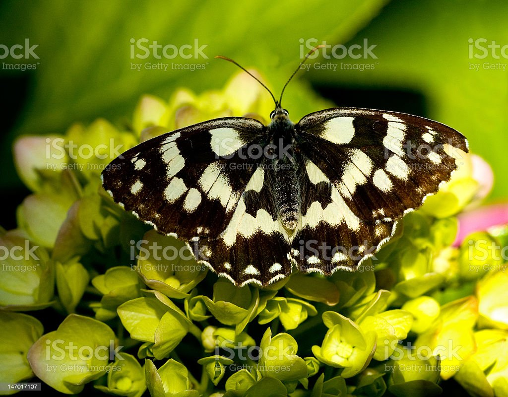 Butterfly on Hydrangea royalty-free stock photo
