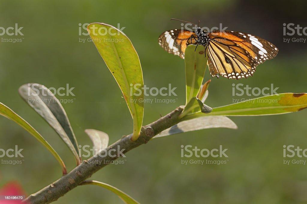 Butterfly on Kudu stock photo