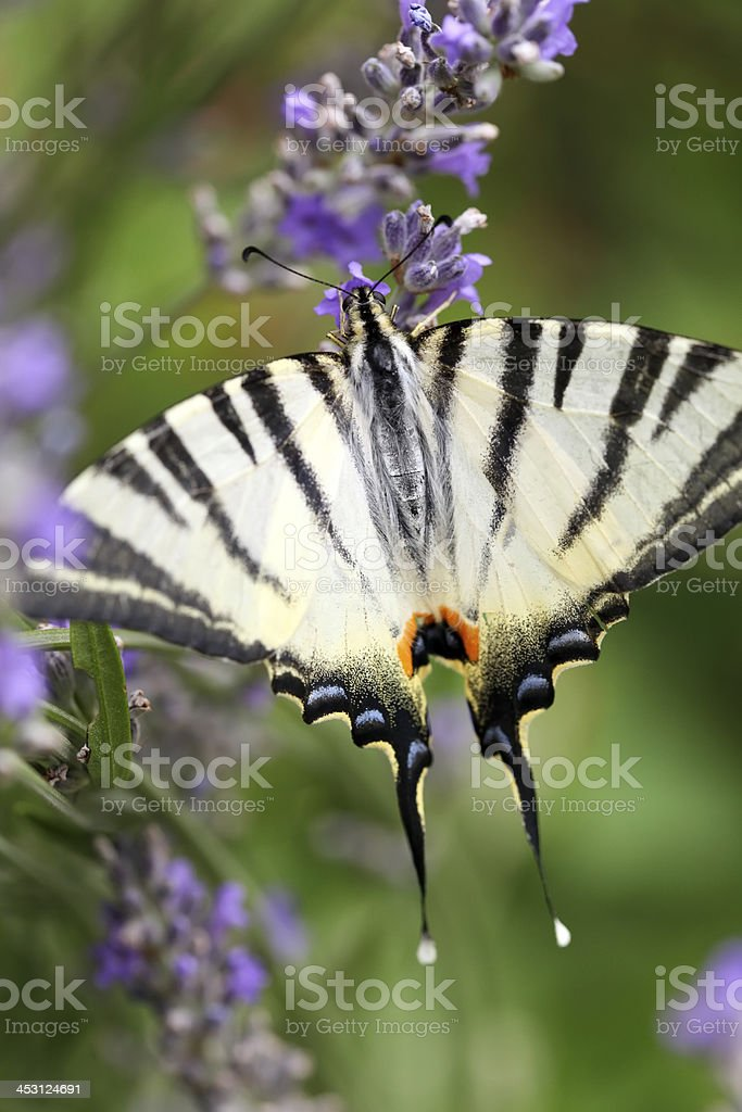 Butterfly on lavender flowers royalty-free stock photo