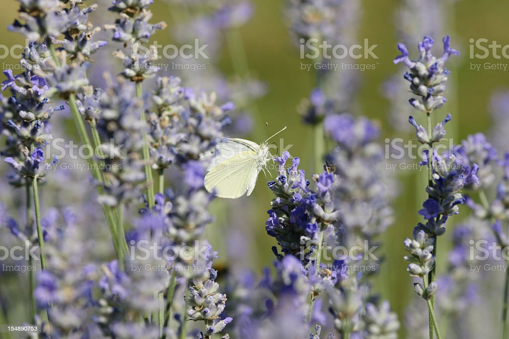 Butterfly on lavenders stock photo