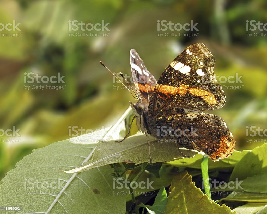butterfly on leaf royalty-free stock photo