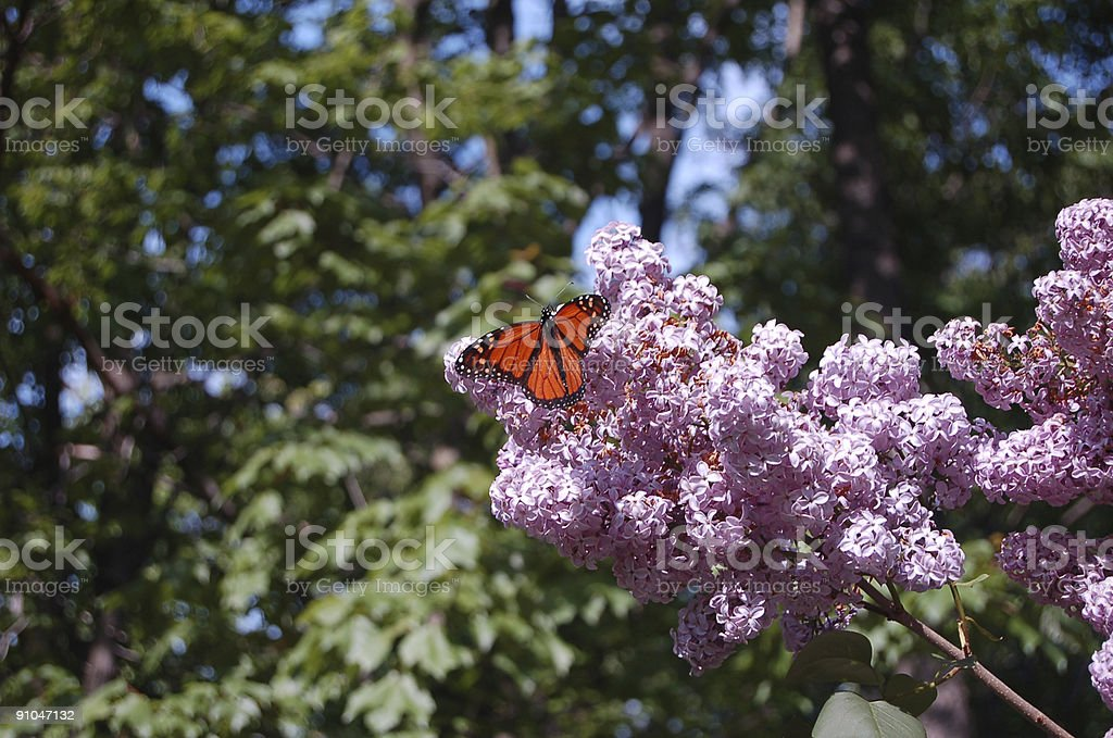 Butterfly on lilac bush royalty-free stock photo