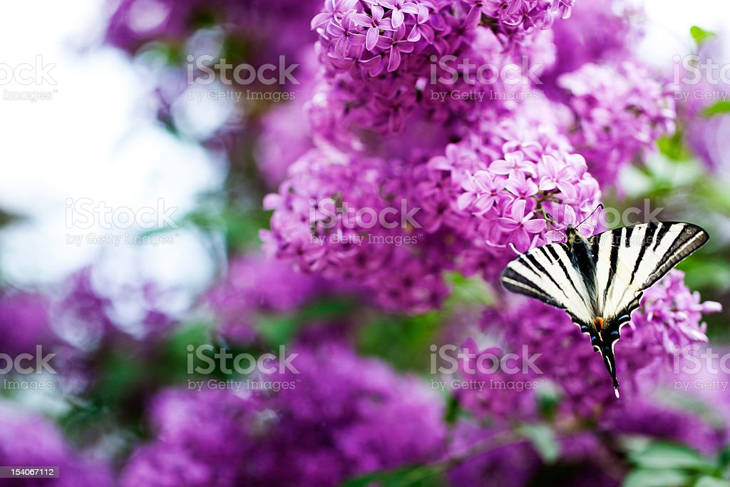 butterfly on lilac flowers stock photo