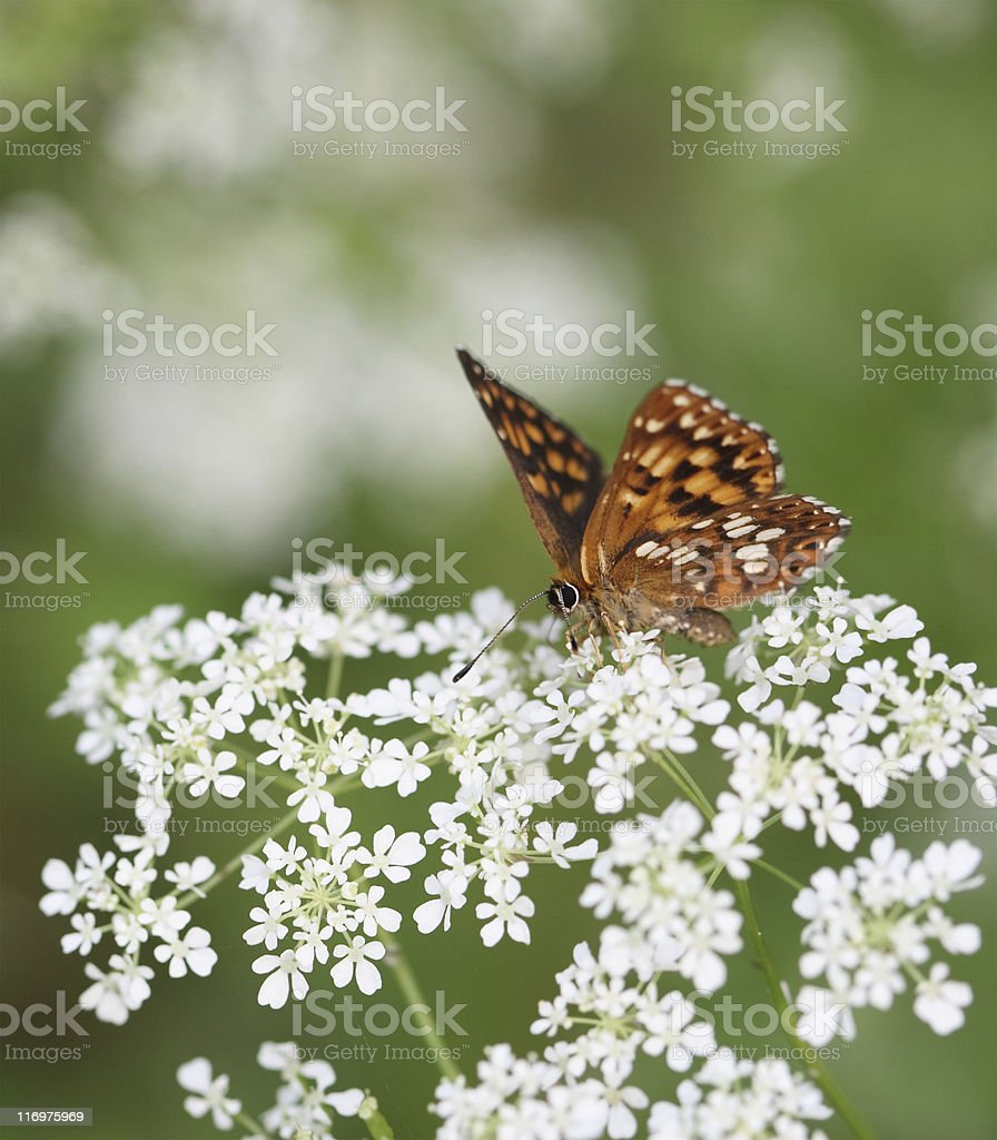 Butterfly On Milfoil royalty-free stock photo