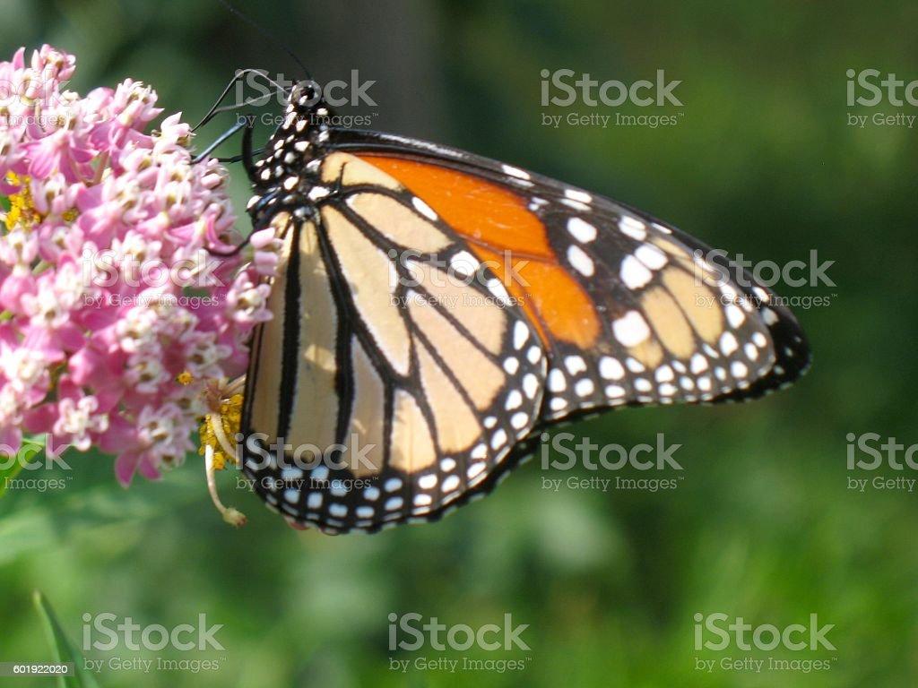 Butterfly on Milkweed stock photo