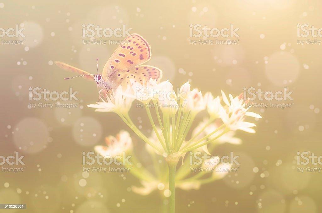 Butterfly on onion flower stock photo