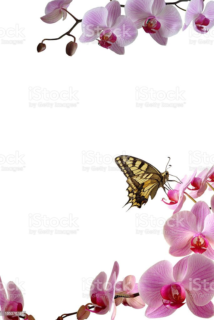 Butterfly on orchid frame royalty-free stock photo