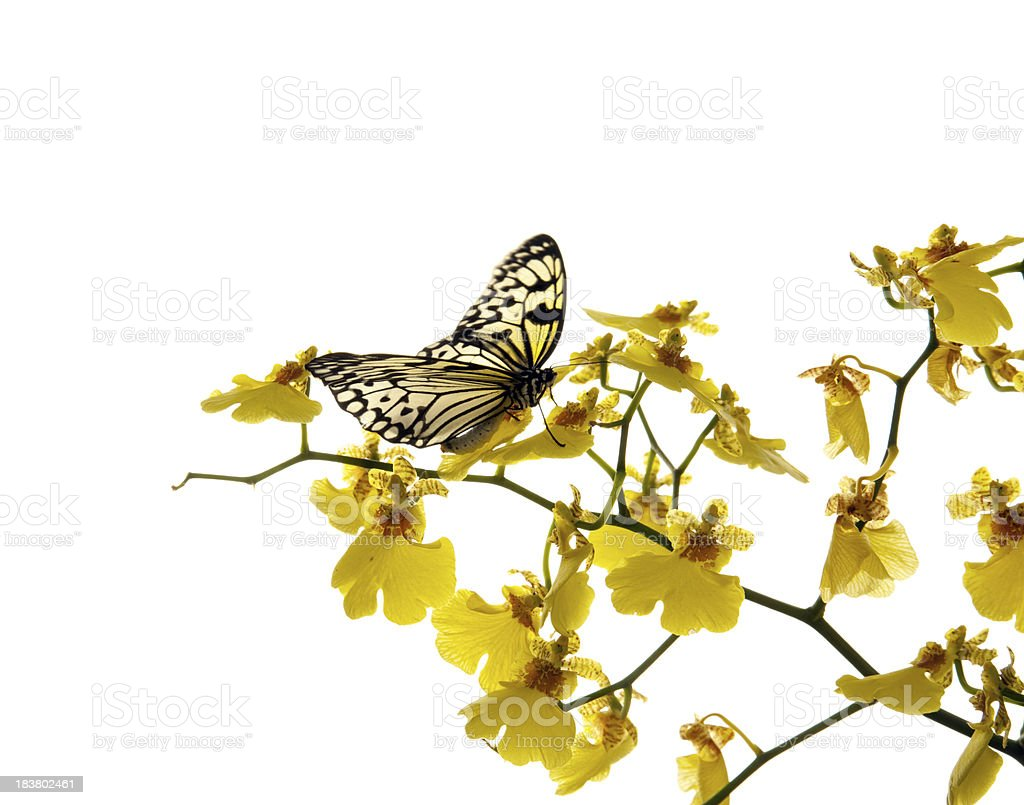Butterfly on orchid. royalty-free stock photo