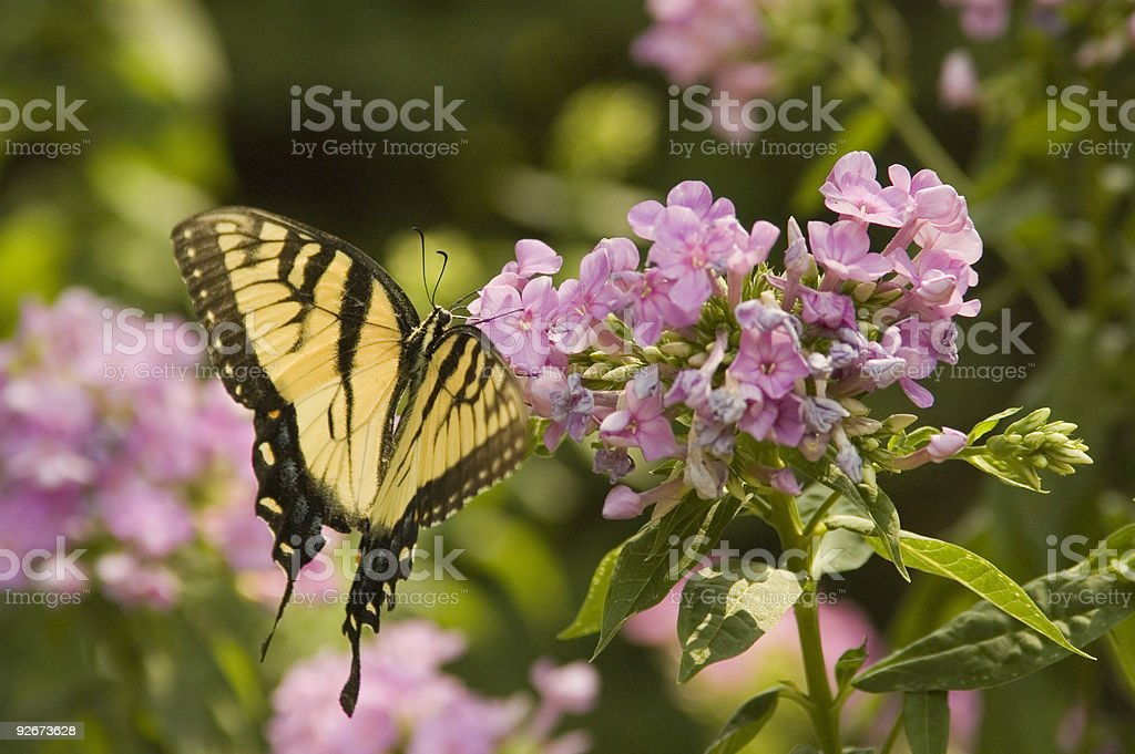 Butterfly on Phlox royalty-free stock photo