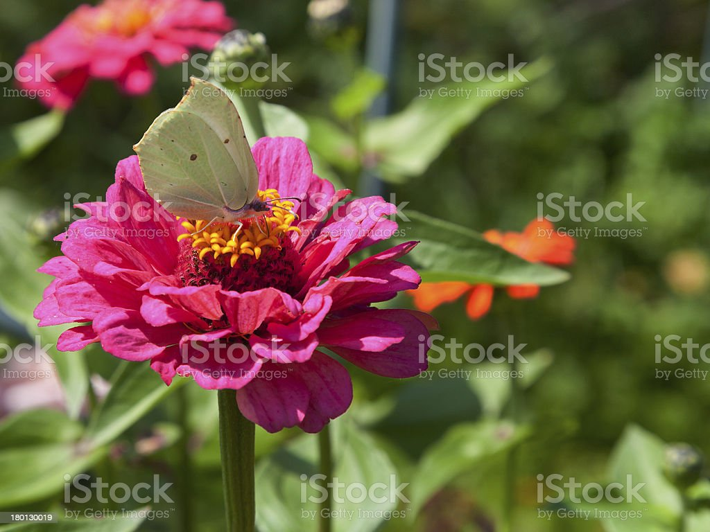 butterfly on pink flower royalty-free stock photo