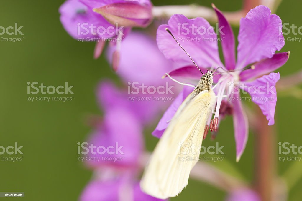 Butterfly on pink plant royalty-free stock photo
