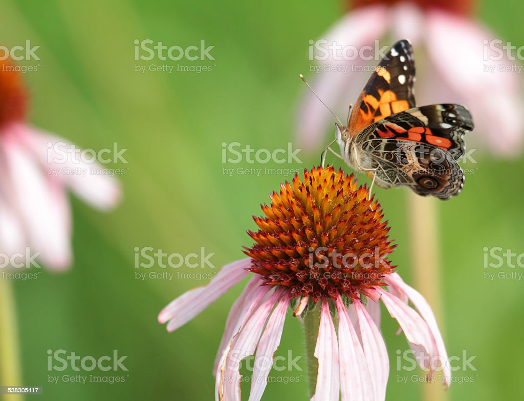 Butterfly on Prairie Coneflower stock photo