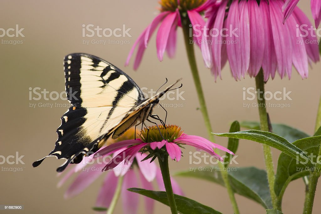 Butterfly on Purple Cone Flowers royalty-free stock photo