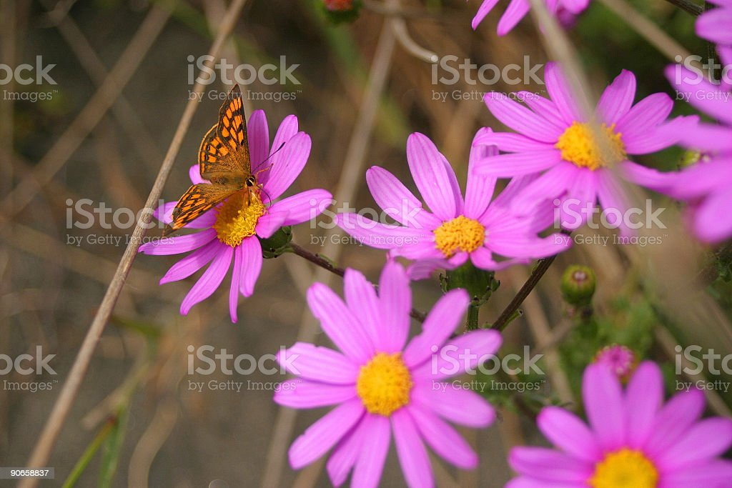 Butterfly on purple daisies II stock photo