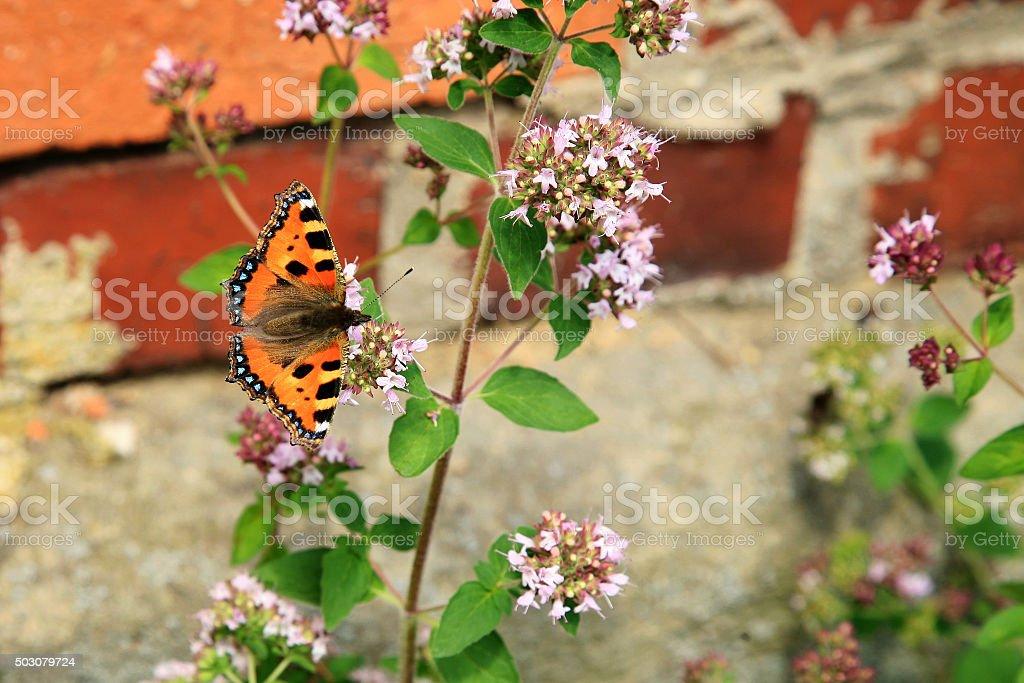Butterfly on purple flowers of oregano stock photo