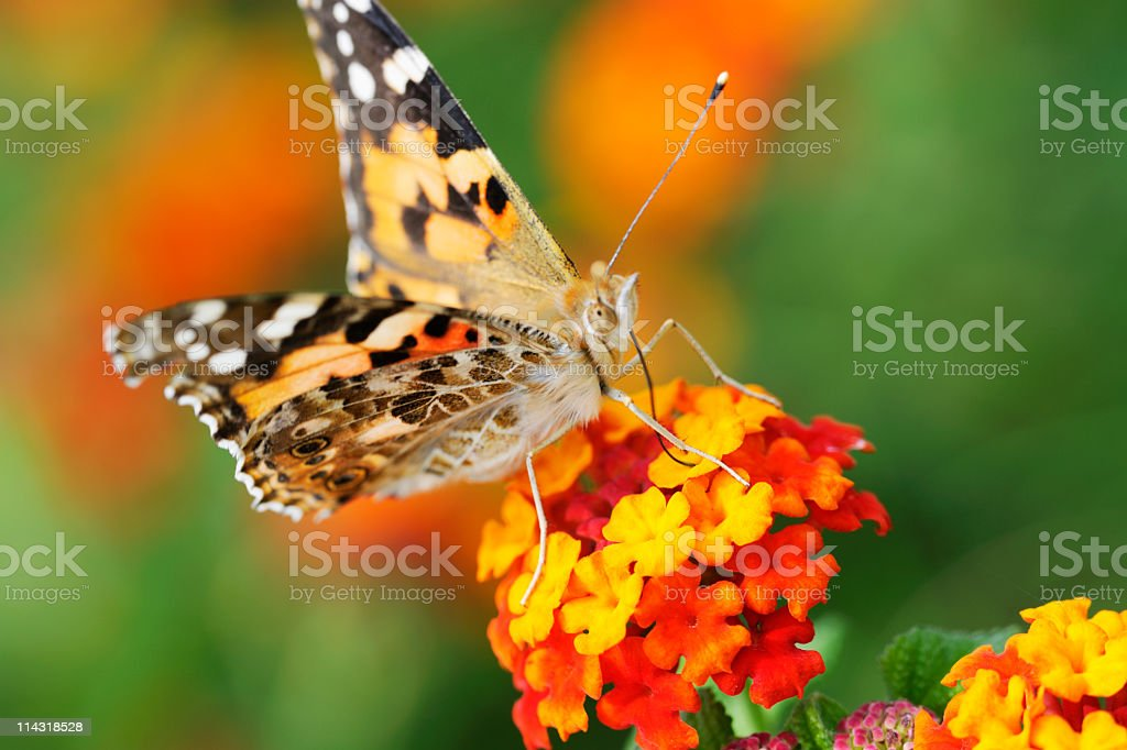 Butterfly on Red and Yellow Flowers with Green Plant Background stock photo