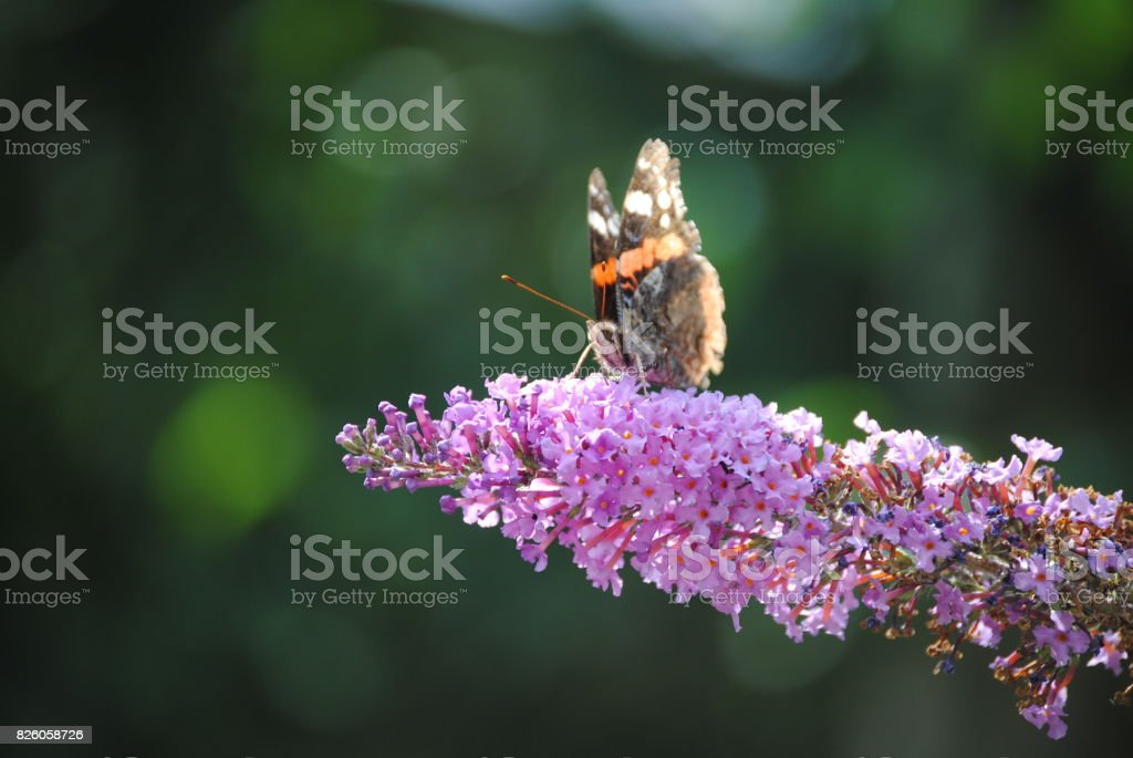 Butterfly on Small Pink Flowers stock photo