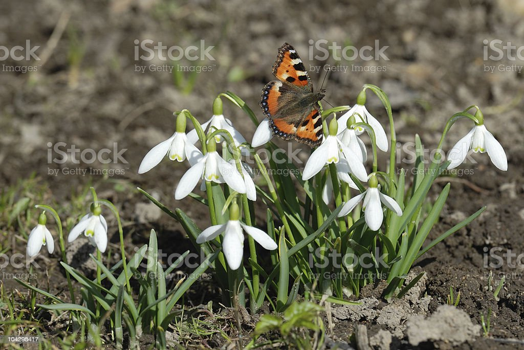 Butterfly on snowdrop royalty-free stock photo
