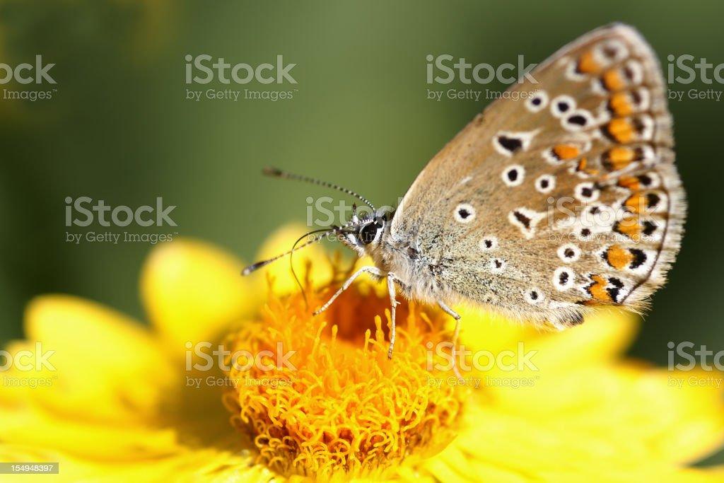 Butterfly on strawflower stock photo