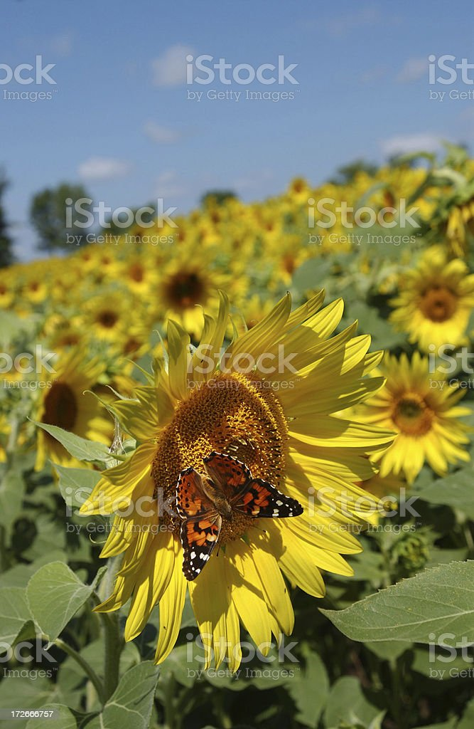 Butterfly on Sunflower royalty-free stock photo